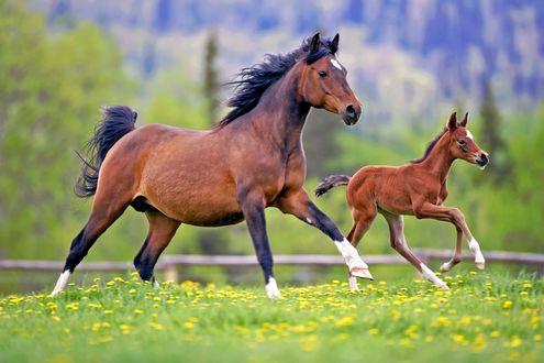 Обои Лошадь с жеребенком бегут по лугу