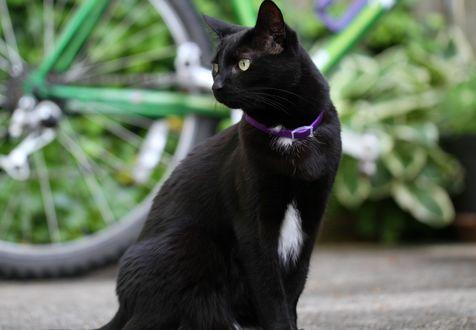 Обои Черная кошка в фиолетовом ошейнике