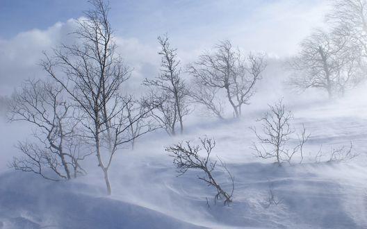 Обои Метель вокруг голых деревьев, растущих из сугробов