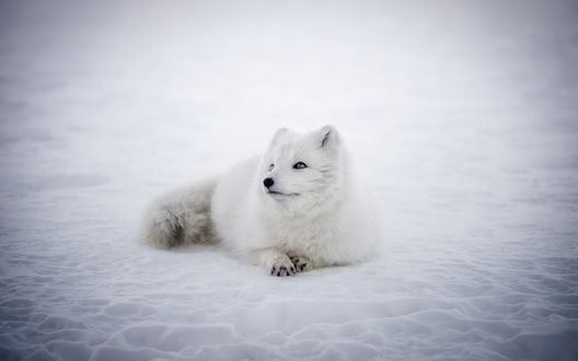 Обои Белый песец лежит на снегу