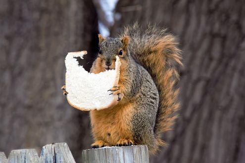 Обои Белка с ломтиком белого хлеба сидит на пеньке