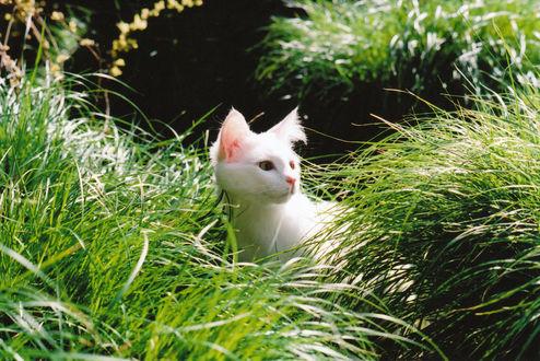 Обои Белый котенок сидит в зеленой траве