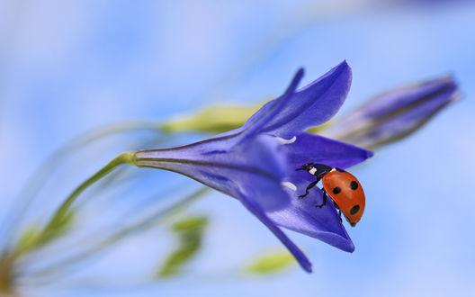 Обои Божья коровка сидит на полураскрытом лилово-голубом цветке лилии