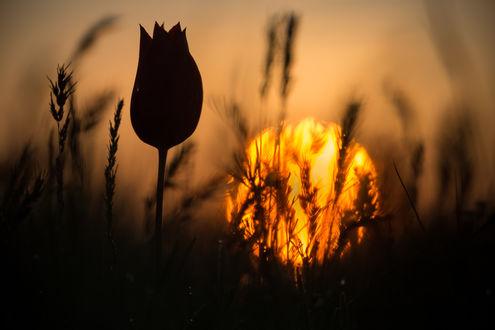 Обои Тюльпан на рассвете, Фотограф Дмитрий Монастырский