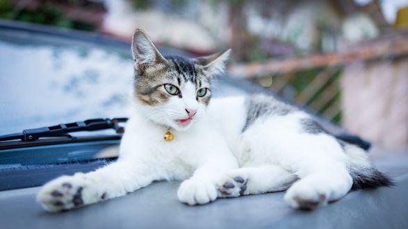 Обои Котенок лежит на капоте машины