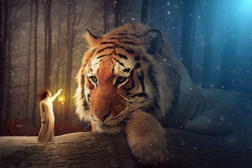 Обои Девушка подошла с фонарем к большому тигру