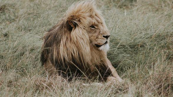 Обои Лев лежит на траве и смотрит в сторону