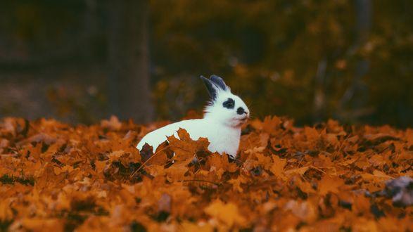 Обои Белый кролик сидит в осенней листве