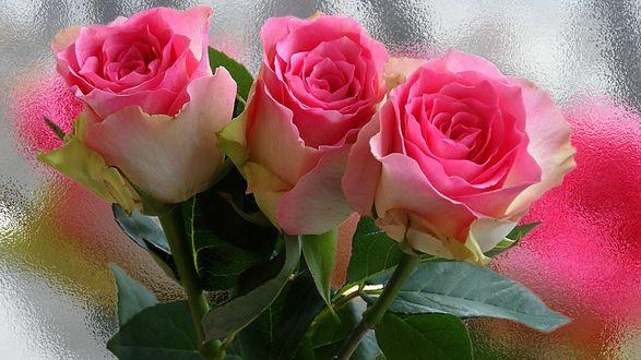 Обои Три розовые розы на размытом фоне