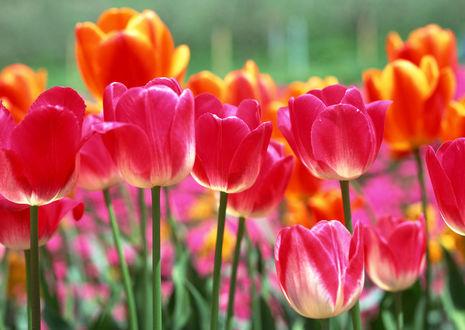 Обои Розовые и оранжевые тюльпаны
