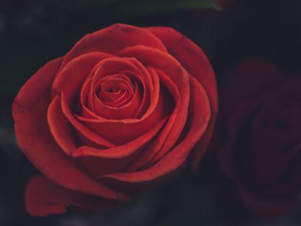 Обои Красная роза крупным планом