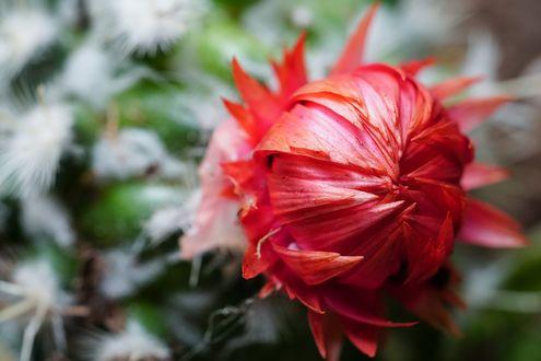 Обои Еще не распустившийся красный цветок кактуса