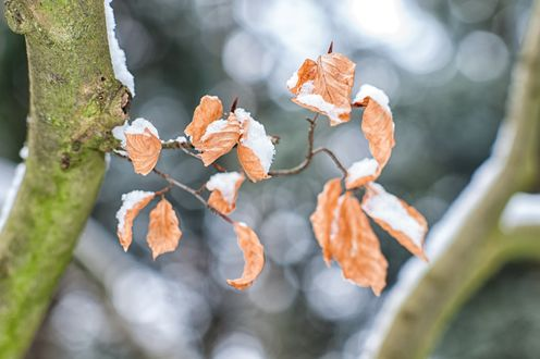 Обои Снег на сухих листьях на ветке