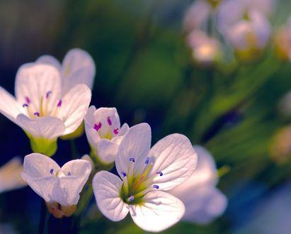 Обои Белые весенние цветы