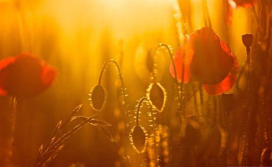 Обои Красные маки, размытые в свете заходящего солнца
