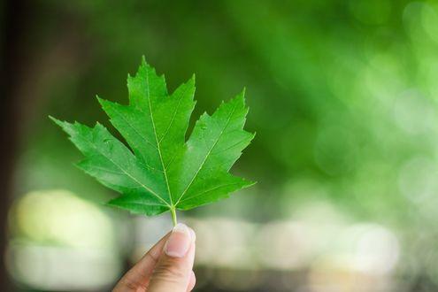 Обои Зеленый кленовый лист в руке