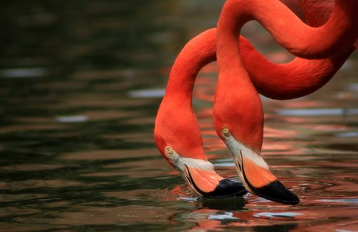 Обои Два розовых фламинго пьют воду