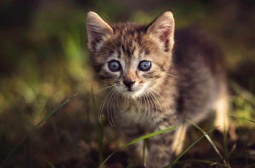 Обои Маленький котенок с голубыми глазами, фотограф Andrаs Pаsztor