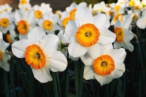 Обои Много белых цветов нарцисса крупным планом