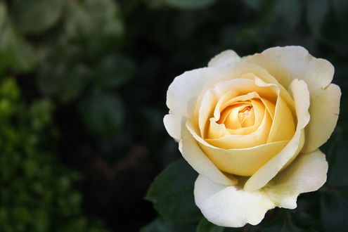 Обои Белый цветок розы крупным планом