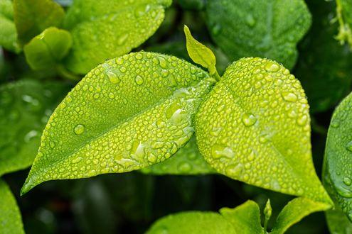 Обои Мокрые зеленые листья