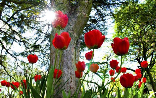 Обои Красные тюльпаны под деревом
