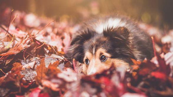 Обои Щенок колли лежит в осенних листьях