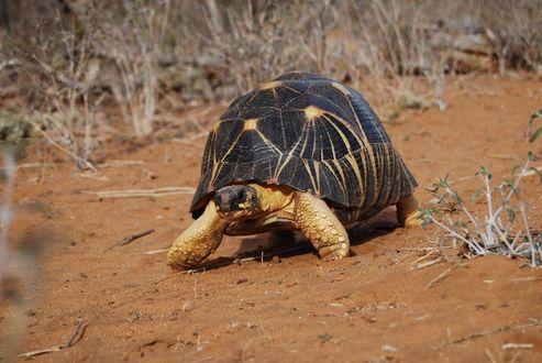Обои Лучистая черепаха на песке