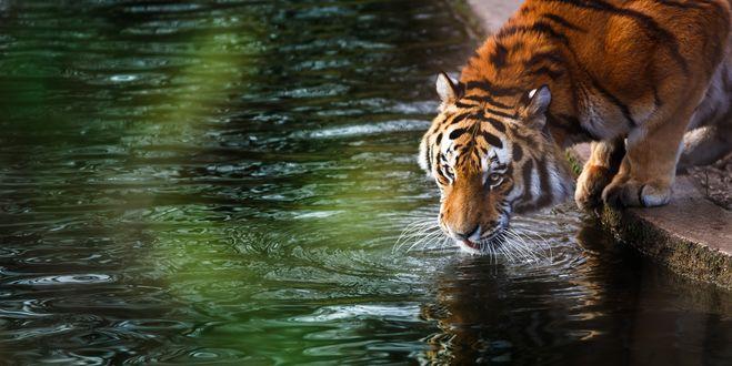 Обои Тигр пьет воду