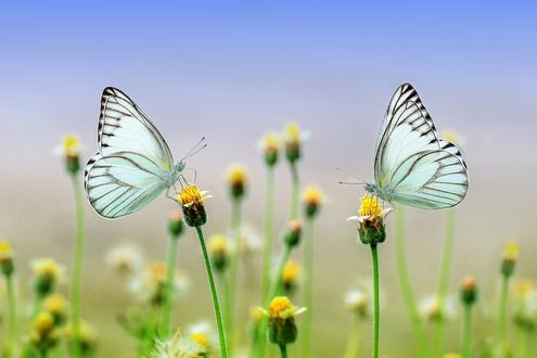 Обои Пара белых бабочек на цветках