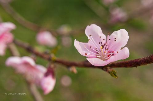 Обои Цветущая весенняя ветка, фотограф Светлана Щемелева