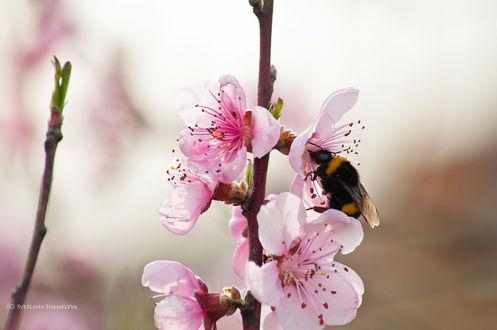 Обои Пчела сидит на весеннем цветке. Фотограф Светлана Щемелева
