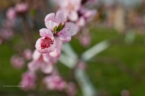 Обои Весенняя веточка вишни. Фотограф Светлана Щемелева
