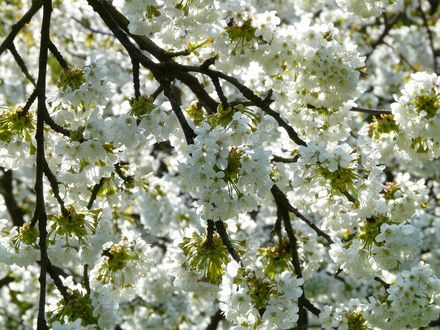 Обои Цветущее дерево вишни