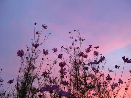 Обои Цветы космеи на фоне неба