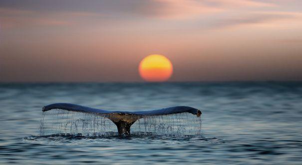 Обои Хвост кита над водой на фоне заката