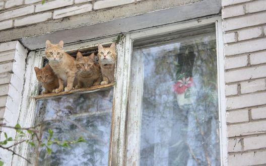Обои Четыре рыжих кота уселись на форточке и выглядывают на улицу
