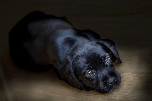 Обои Грустный черный щенок лежит на полу