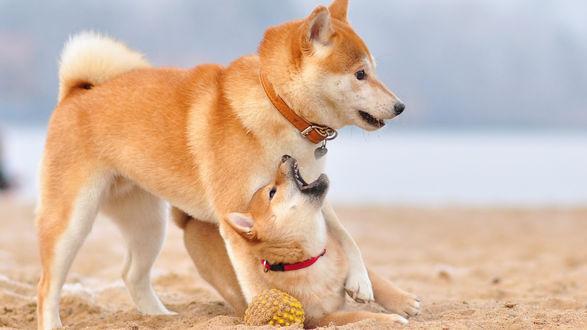 Обои Собака породы Сиба-ину и ее малыш играют на берегу моря