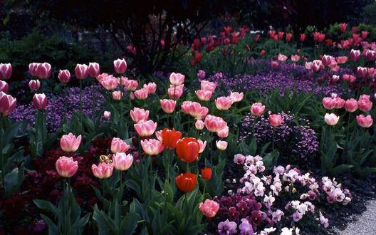Обои Весенние тюльпаны и другие цветы на клумбе