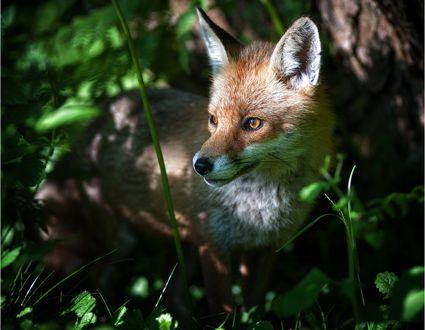 Обои Рыжая лиса в траве