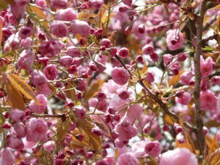 Обои Весеннее цветущее дерево сакуры
