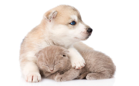 Обои Щенок хаски держит лапами дремлющего кремового цвета котенка на белом фоне