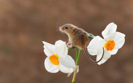 Обои Мышка полевка на цветке нарцисса