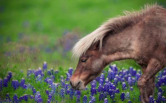 Обои Лошадь на поле с синими цветами