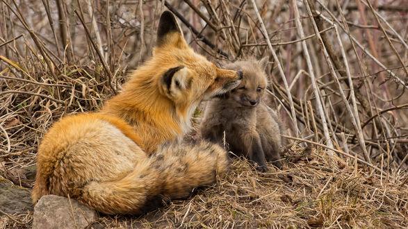 Обои Мама лиса вылизывает лисенка в сухой траве