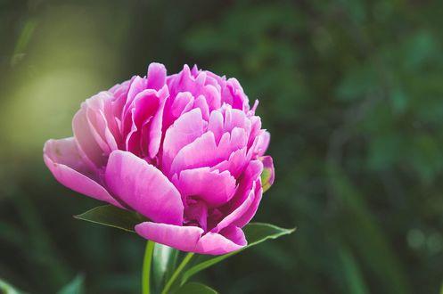 Обои Розовый цветок пиона, фотограф Siаn Cox