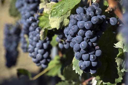 Обои Грозди винограда висят на заборе