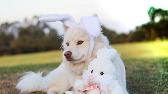 Обои Милая собака с игрушкой зайца лежит на поляне