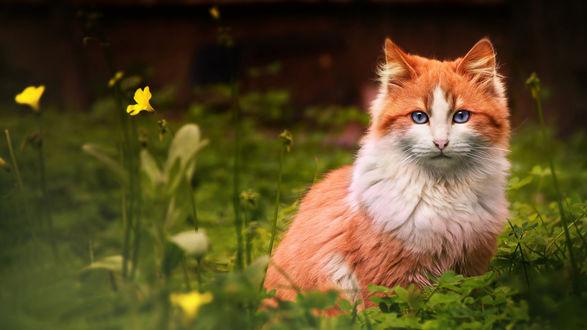 Обои Бело- рыжий кот сидит в траве